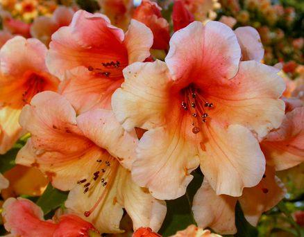 Rhododendron: Sådan planter og passer du dem i haven